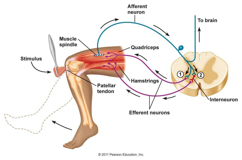 patellar reflex diagram - klejonka, Muscles